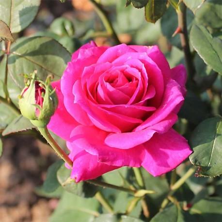 rosier buisson grandes fleurs nuit d 39 orient stebigpu