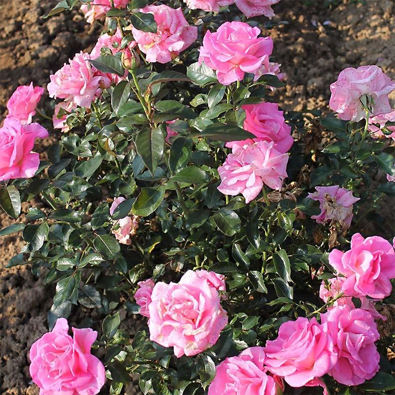 rosier buisson grandes fleurs parfum royal adaborop. Black Bedroom Furniture Sets. Home Design Ideas
