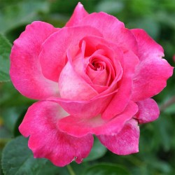 Rosier ROSE GAUJARD®