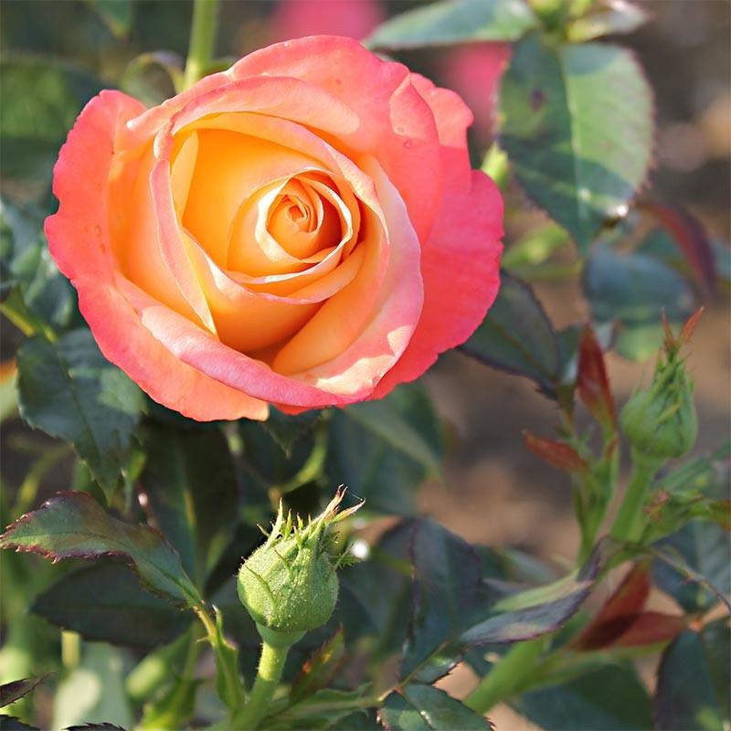 varietes de rosiers collection design inspiration pour le jardin et son compl ment. Black Bedroom Furniture Sets. Home Design Ideas