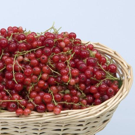 Groseiller Versaillaise Rouge