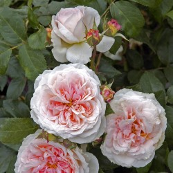 Rosier BLUSH Flower Circus