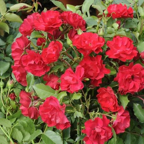 Rosier BRILLANT Flower Circus®