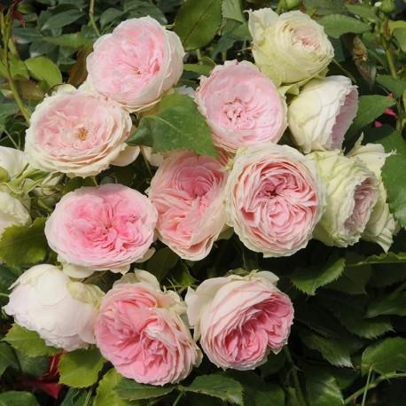 Rosier POMPON Flower Circus®