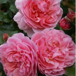 Rosier ROSEMANTIC PINK®