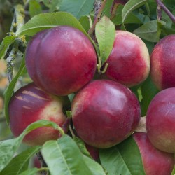 Brugnon Nectared 6