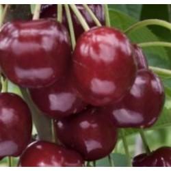 Cerisier Lapins