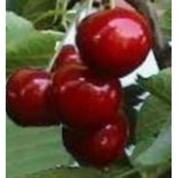 Cerisier Reverchon