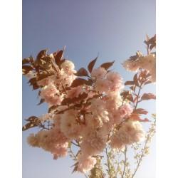 Cerisier fleurs 'Royal Burgundy'