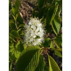 Cerisier fleurs 'Amber Beauty'