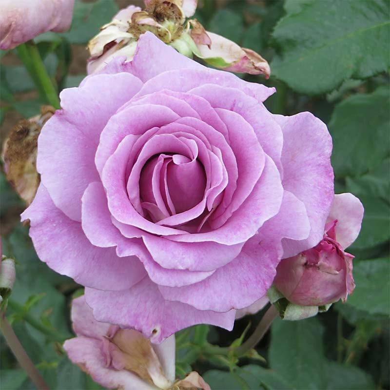 rosier grimpant violette parfum e dorientsar. Black Bedroom Furniture Sets. Home Design Ideas