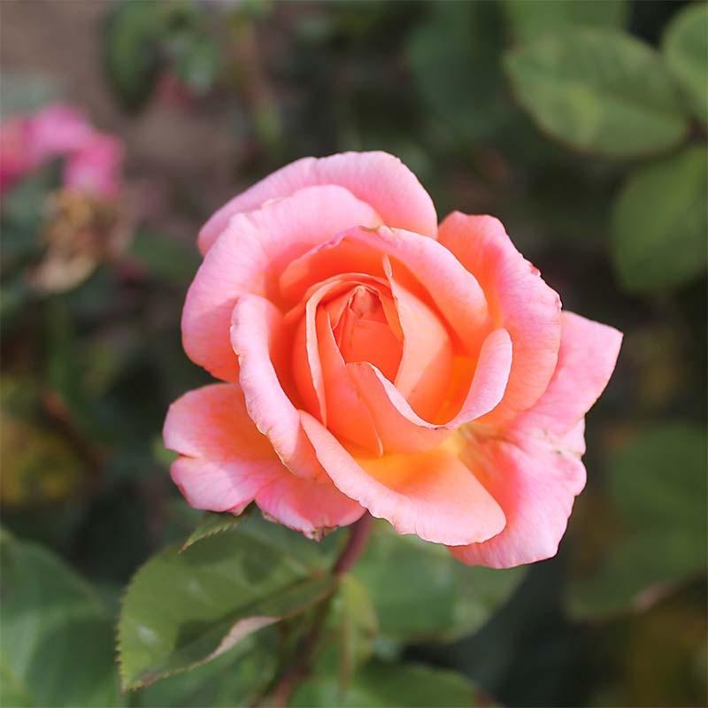 rosier buisson grandes fleurs amour de mol ne adaruocal. Black Bedroom Furniture Sets. Home Design Ideas