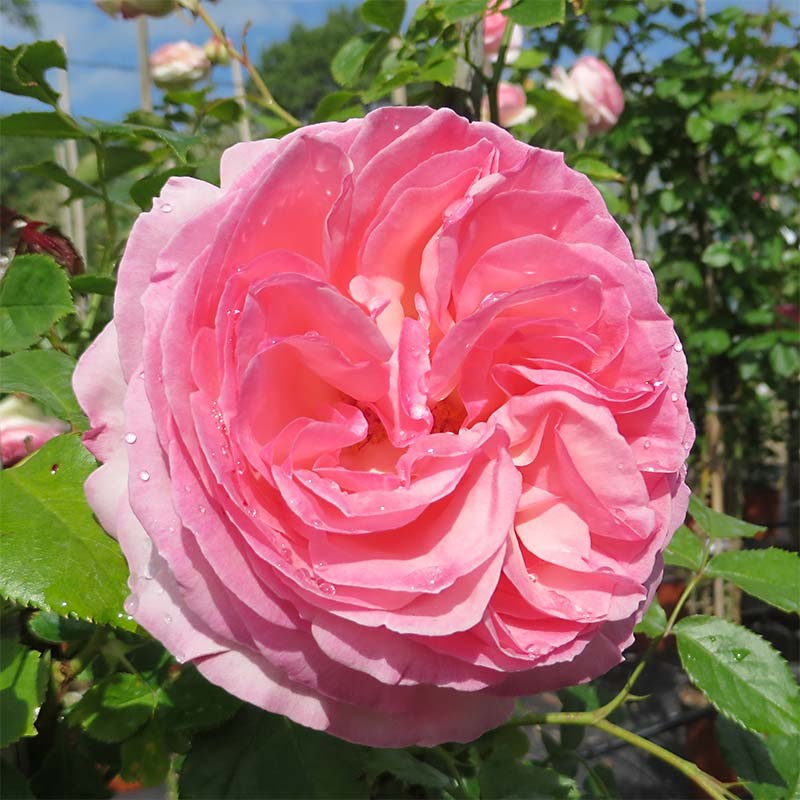 rosier grimpant pierre de ronsard meivolin ou eden rose. Black Bedroom Furniture Sets. Home Design Ideas