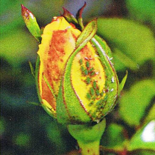 puceron des rosiers
