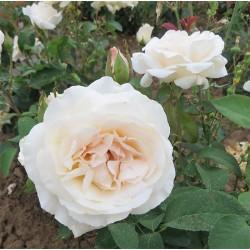 Rosier WHITE QUEEN ELIZABETH
