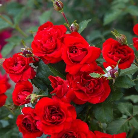 Rosier RUTH LEEWERICK