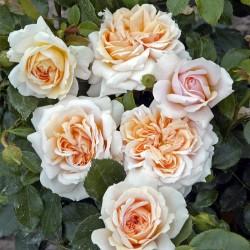 Rosier CREME Flower Circus®