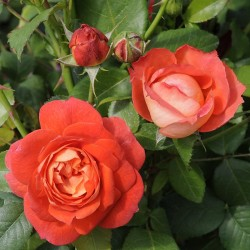 Rosier ORANGE Flower Circus®