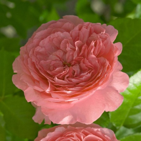 Rosier MARIE CAROLINE®