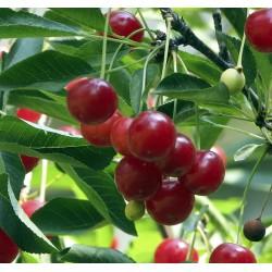 Cerisier Griottier de la Toussaint