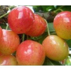 Cerisier Rainier