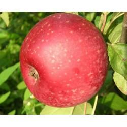 Pommier reinette rouge étoilée