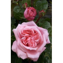 Rosier buisson SPECIAL ANNIVERSARY ®