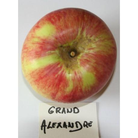 Pommier Grand Alexandre
