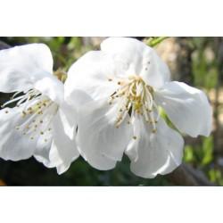 Cerisier Hedelfingen