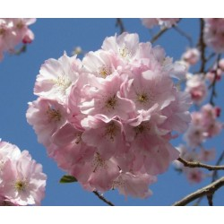 Cerisier fleur 'Accolade'