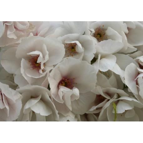 Cerisier fleur 'Shirotae'