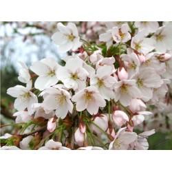 Cerisier fleur Yedoensis