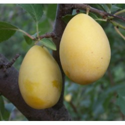 Prunier Prune d'ente blanche