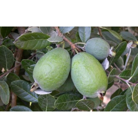 Feijoa Coolidge