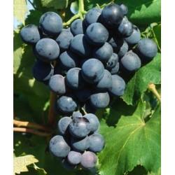 Vignes Alphonse Lavalée