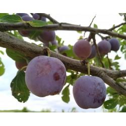 Prunier Reine claude violette
