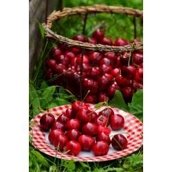 Cerisier nain Cherry baby®