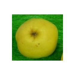 Pommier à cidre Petit jaune