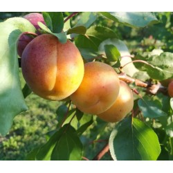 Abricotier de Saumur