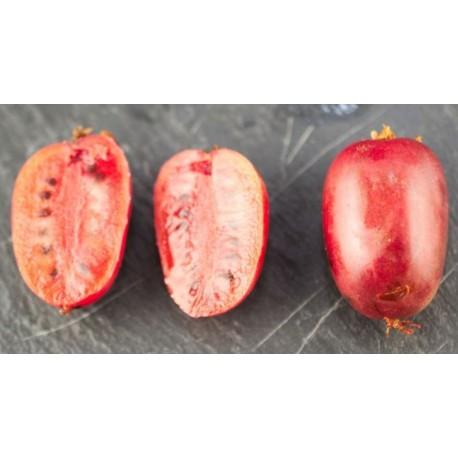 Kiwi/kiwaï Ken's red (femelle)