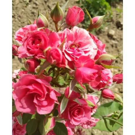 Variété de roses à pétales comestibles Candyfloss™ (barbe à papa)