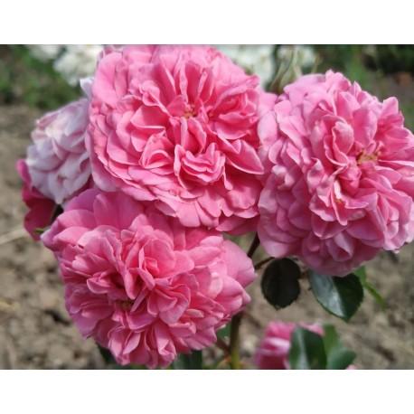 Rosier à pétales comestibles Birthday rose™