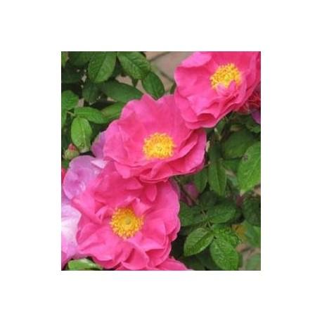 ROSIER Rose des apothicaires (Gallica officinalis)