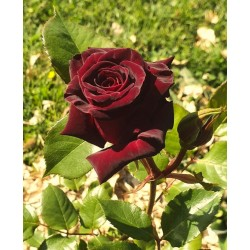 Rosier Black baccara®