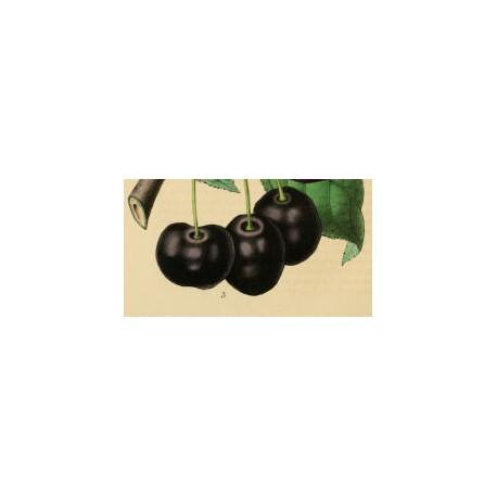 Cerisier Noire de Tartarie