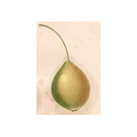 Poirier Citron des Carmes