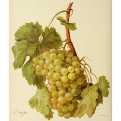 Vigne Madeleine Angevine