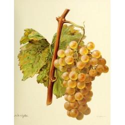 Vigne Chasselas de Bordeaux