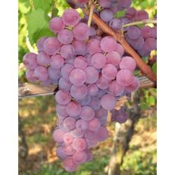 Vigne Chasselas rose royal