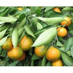 Mandarinier Satsuma Okitsu